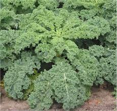 wonderful kale.jpg